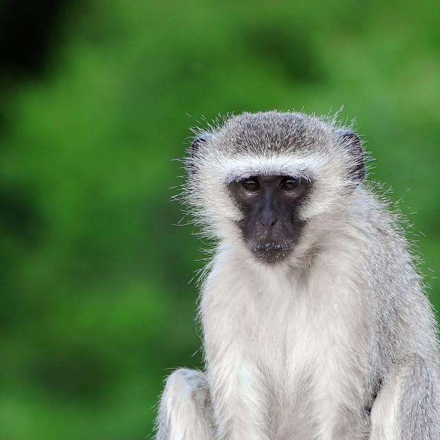 """""""DSC_3887- Vervet Monkey"""" stock image"""