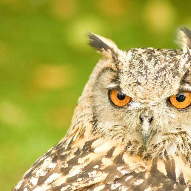 """bengal eagle owl"" stock image"