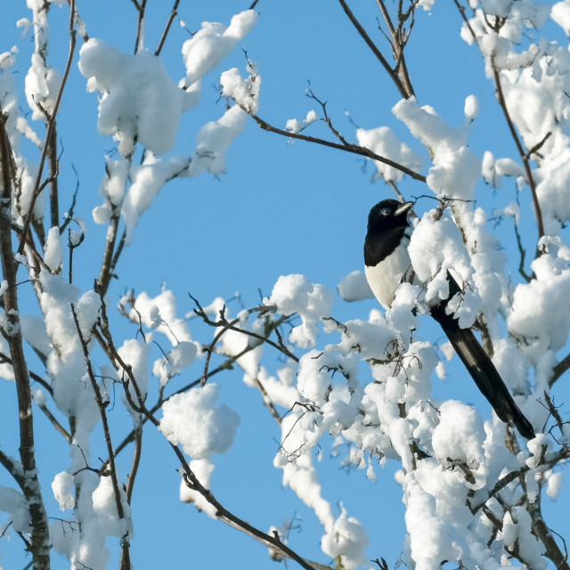 """magpie in snow"" stock image"
