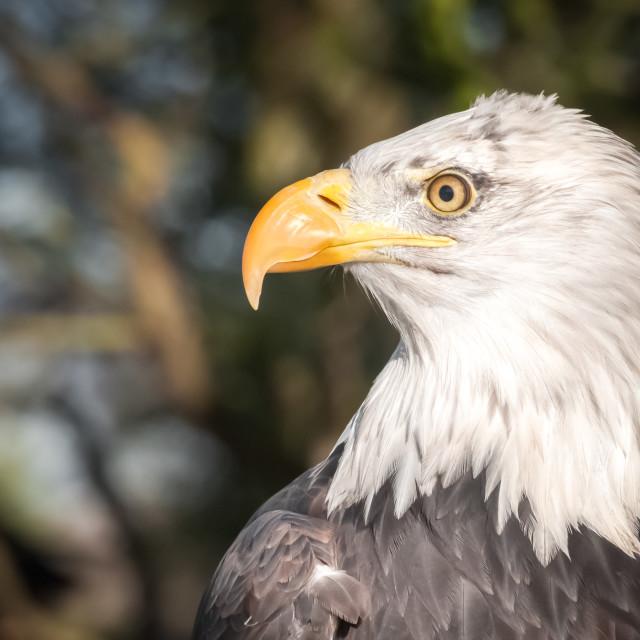 """""""bald eagle closeup"""" stock image"""