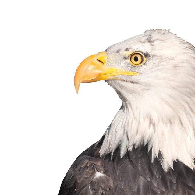 """isolated eagle"" stock image"