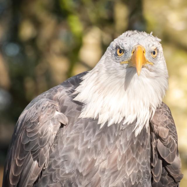 """""""bald eagle portrait"""" stock image"""