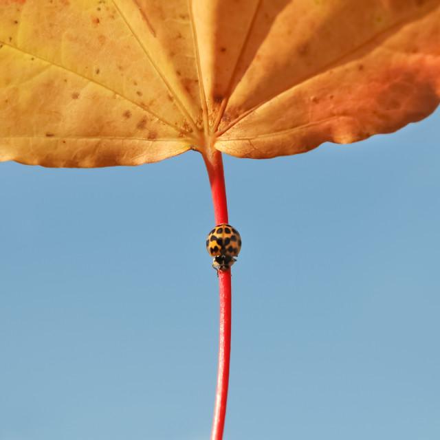 """""""autumn ladybug"""" stock image"""