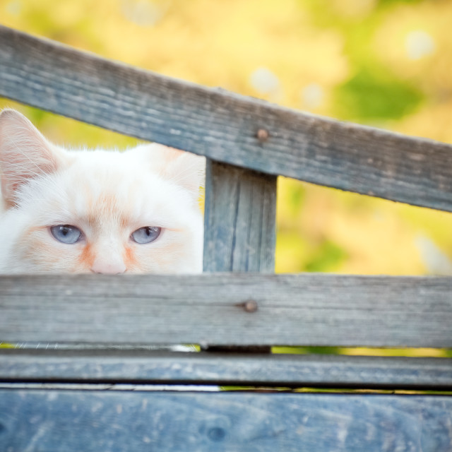 """birman blue eyes"" stock image"