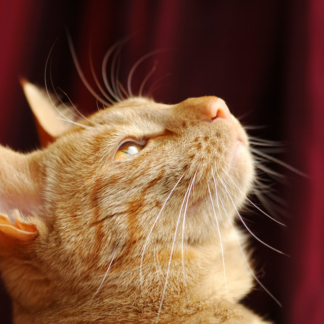 """""""distracted cat"""" stock image"""