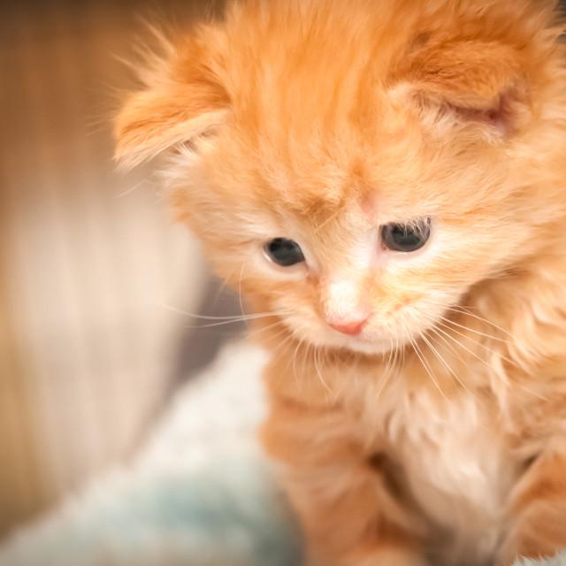 """""""ginger kitten closeup"""" stock image"""