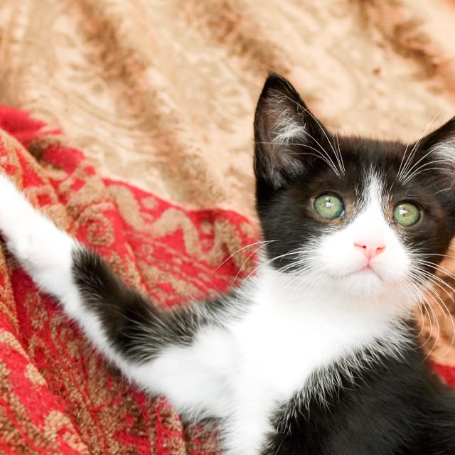 """""""kitten posing"""" stock image"""