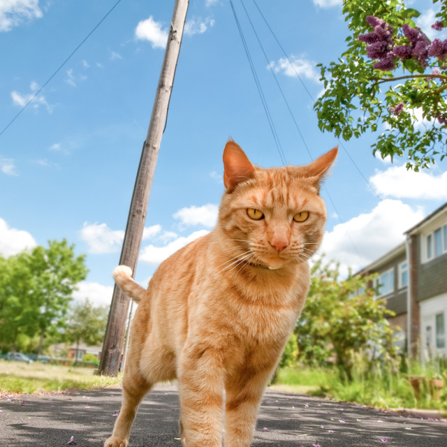 """handsome red tabby cat defending his territory"" stock image"