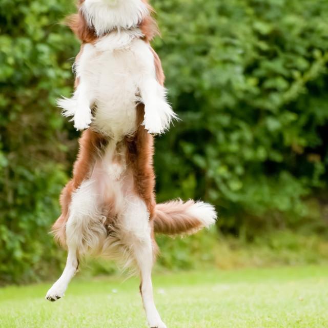 """canine agility"" stock image"