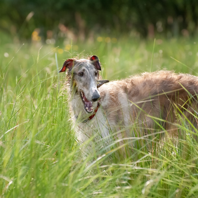 """playful borzoi"" stock image"