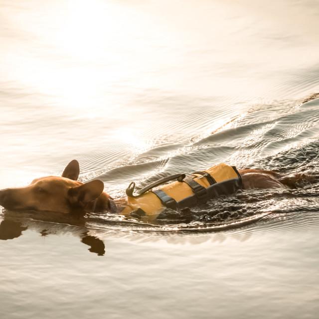 """swimming dog"" stock image"