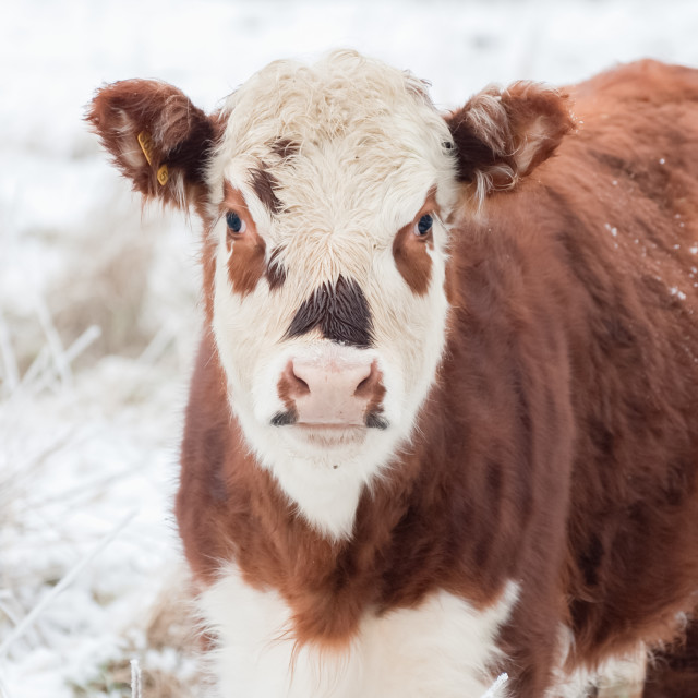"""cow in winter"" stock image"