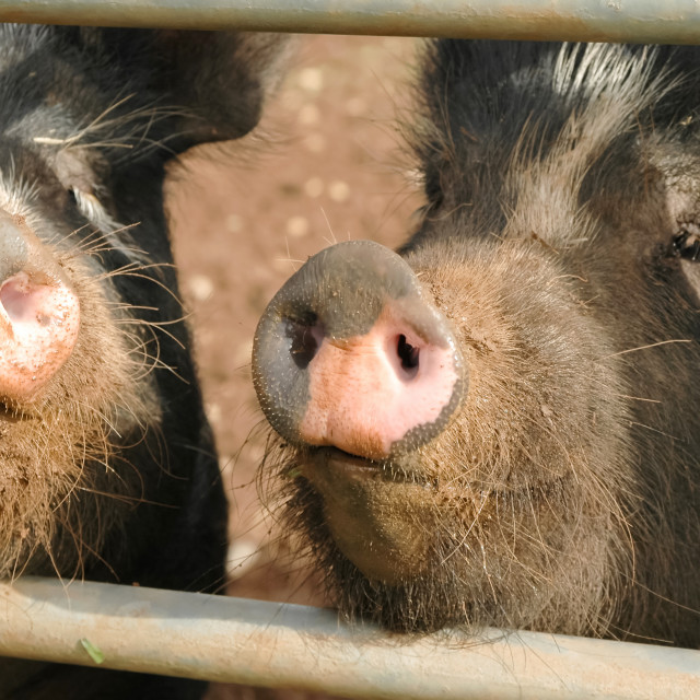 """pig snouts"" stock image"