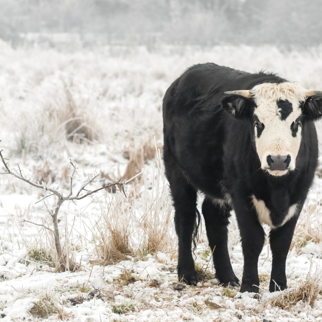 """winter bull"" stock image"