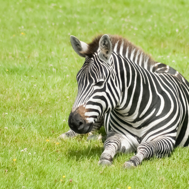 """""""chilled-out zebra"""" stock image"""