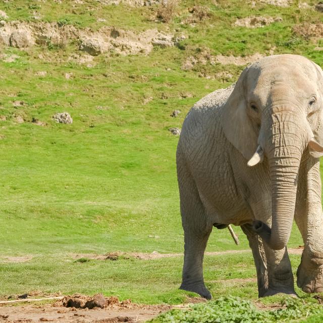 """""""indian elephant"""" stock image"""
