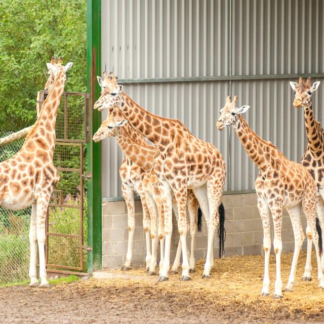 """herd of giraffes"" stock image"