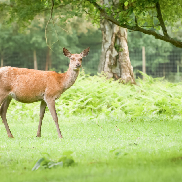 """red deer doe"" stock image"