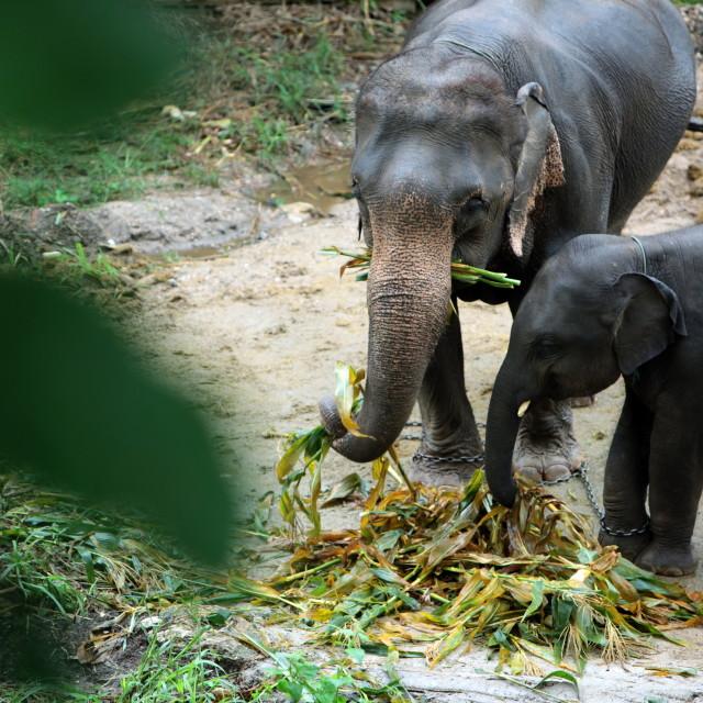 """ASIA THAILAND CHIANG MAI ELEPHANT CAMP"" stock image"