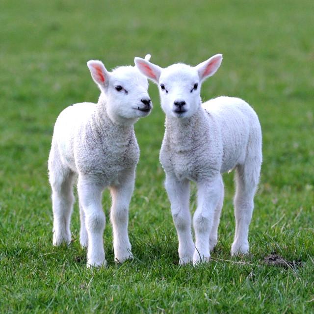 """Lambs"" stock image"