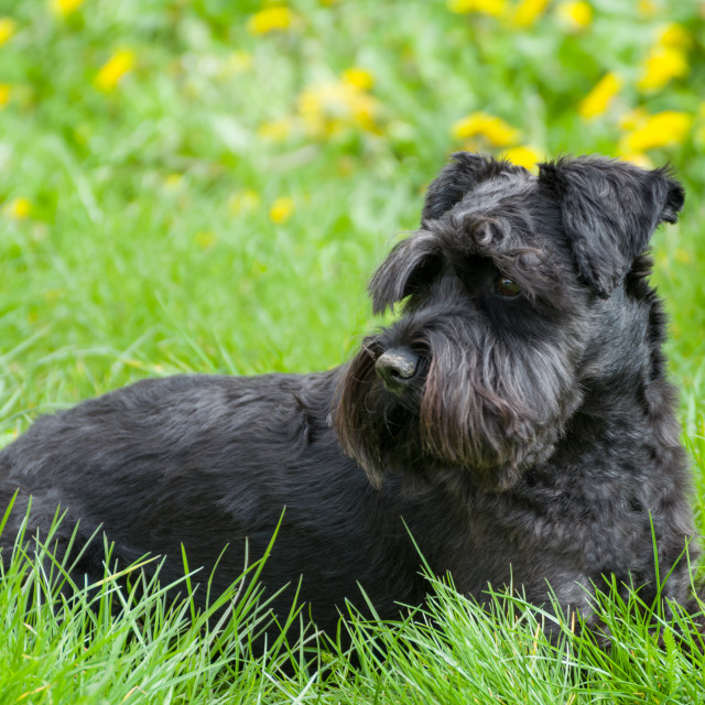 """Black Miniature Schnauzer Dog"" stock image"