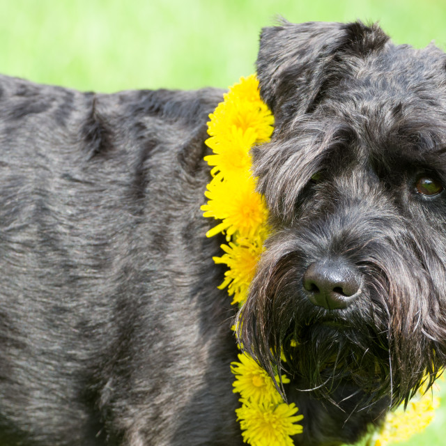 """Decorated Black Miniature Schnauzer Dog"" stock image"