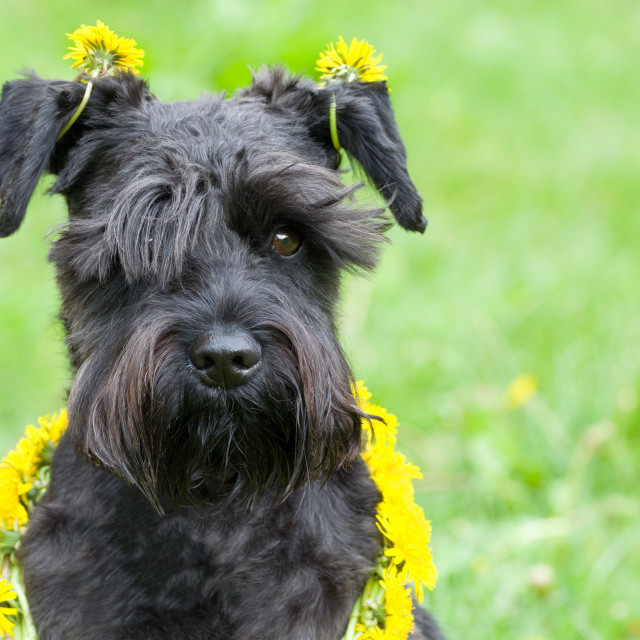 """Dandelion Dog"" stock image"