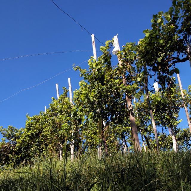 """""""Rows of vines in Valdobbiadene, Italy"""" stock image"""