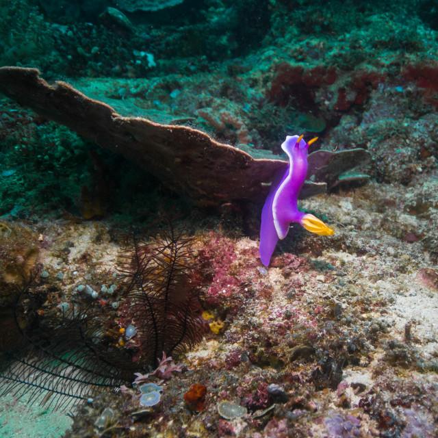 """Purple Nudibranch"" stock image"