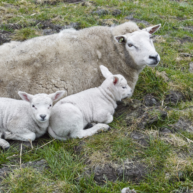 """""""SHEEP & LAMBS"""" stock image"""