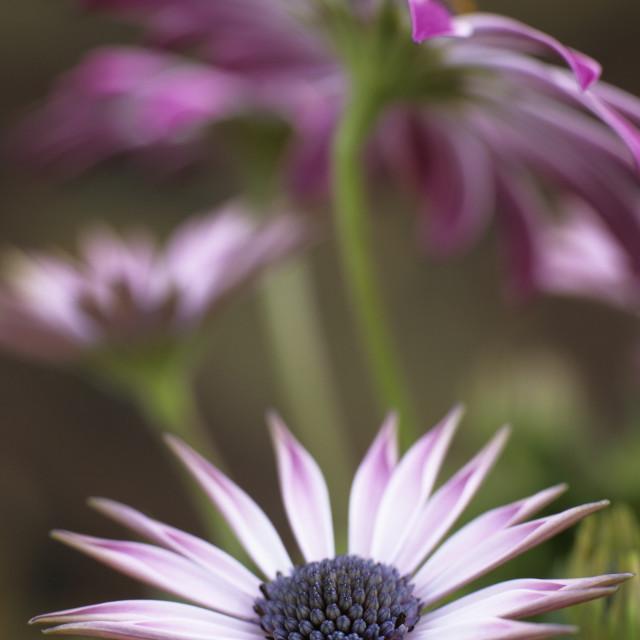 """Osteospermum Silvia"" stock image"