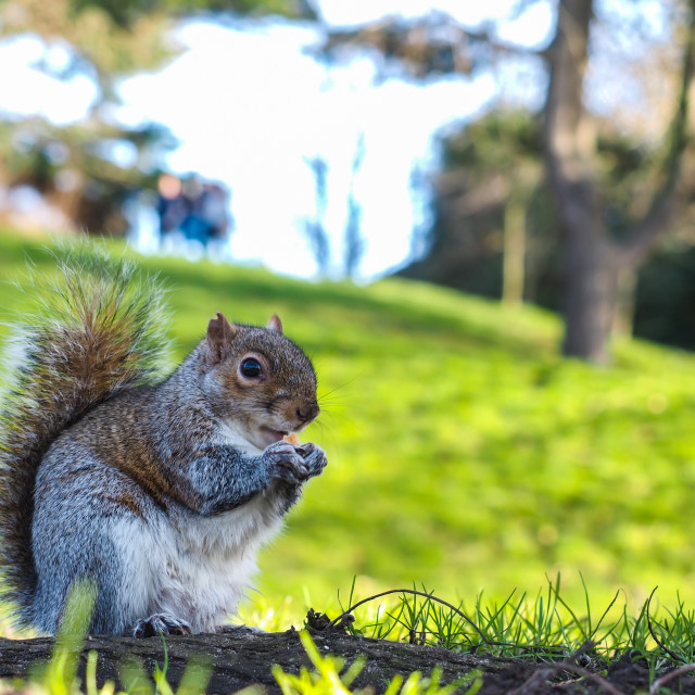 """Squirrel eating on a treat in a park in shadow with green grass"" stock image"