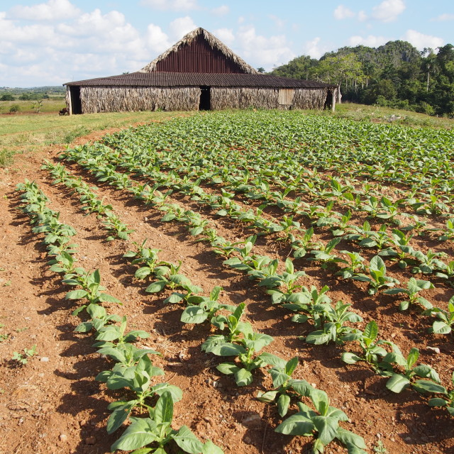 """Tobacco Farm"" stock image"