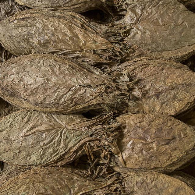 """Tobacco Leaves, Cuba"" stock image"