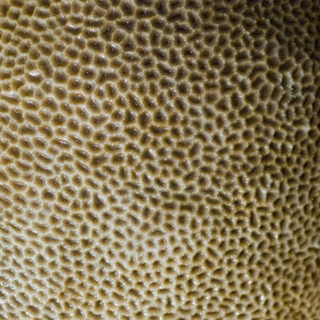 """""""star corals texture"""" stock image"""