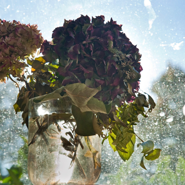"""""""Withered Hortensia By The Window"""" stock image"""