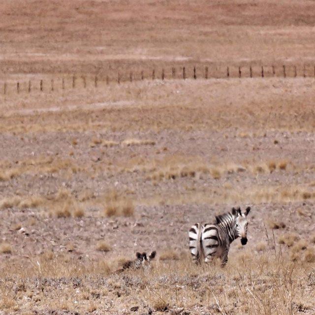 """namibian wild zebras"" stock image"