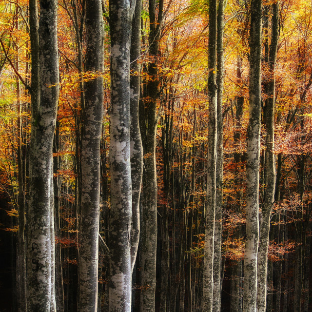 """Beech trees in autumn"" stock image"