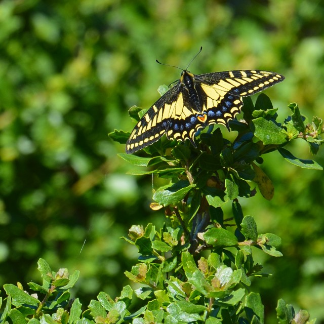 """""""Eastern Tiger Swallowtail Butterfly"""" stock image"""