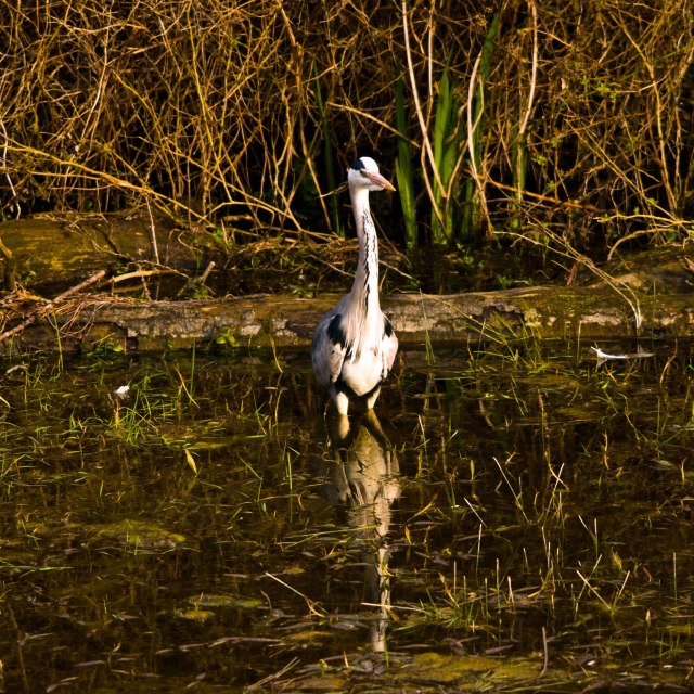 """Heron stalking at the side of a lake"" stock image"