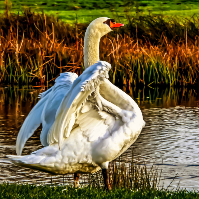 """Swan in warm Sunlight."" stock image"