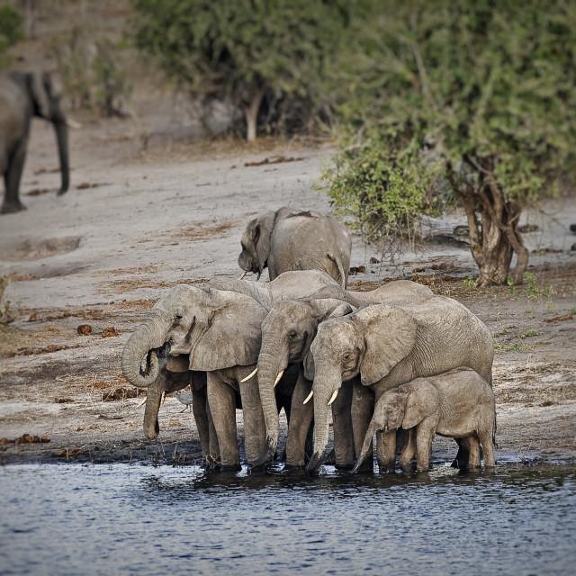 """DSC_8901- Elephants"" stock image"
