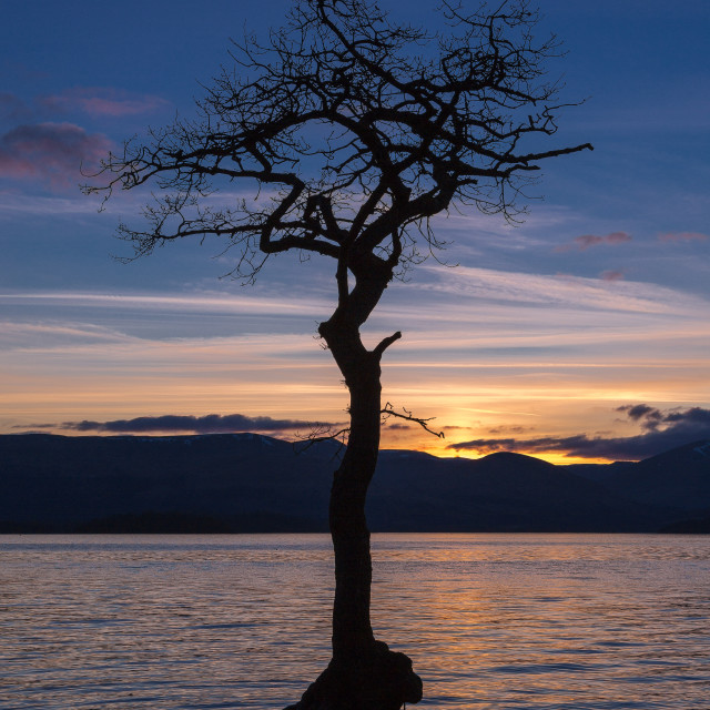 """Milarrochy Bay Tree, Scotland"" stock image"