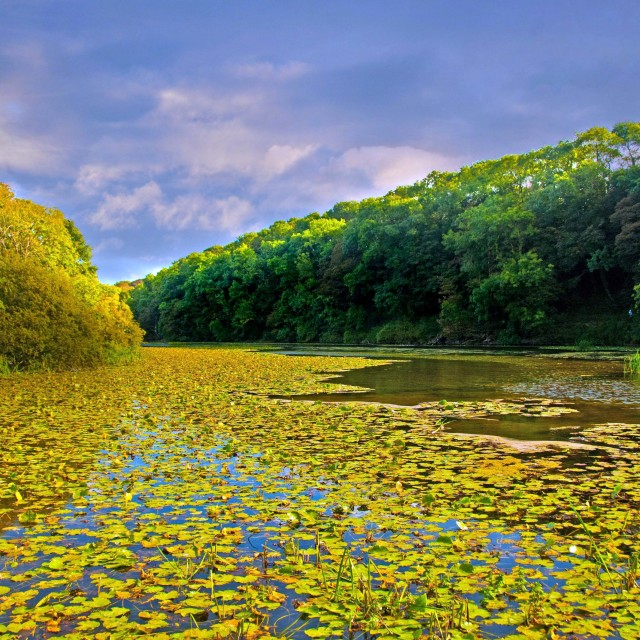 """The Lily Ponds at Bosherston"" stock image"