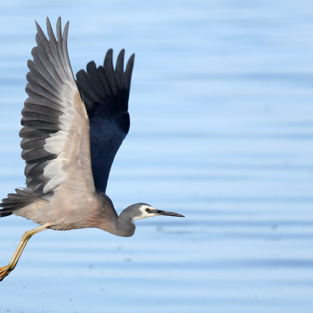 """Heron flying over the ocean"" stock image"