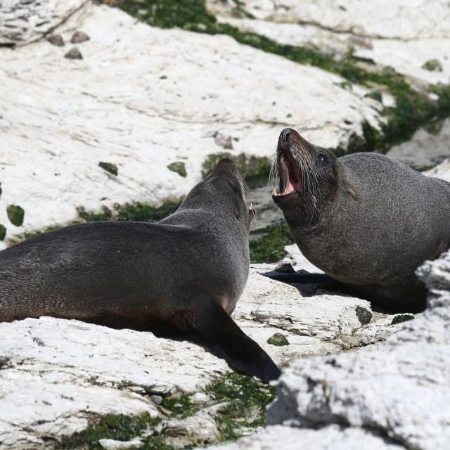 """Cape fur seals"" stock image"