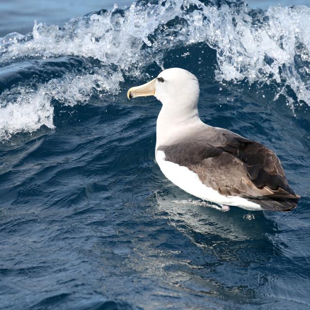"""""""Albatross at sea"""" stock image"""
