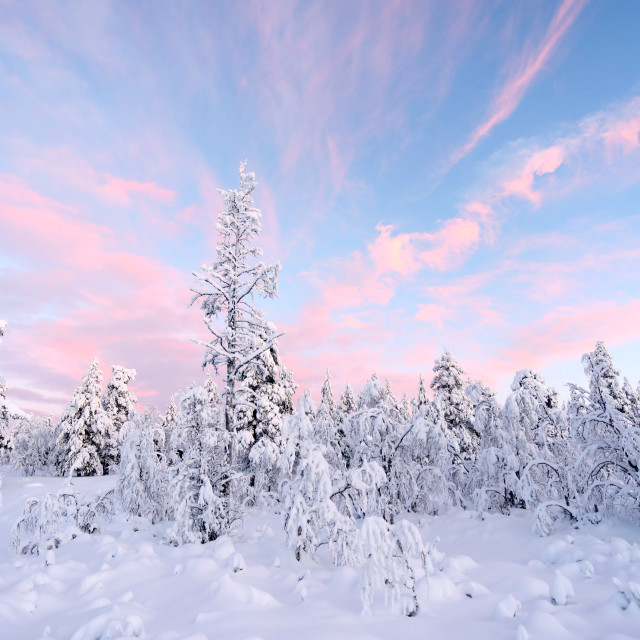 """Snowy trees in Lapland"" stock image"