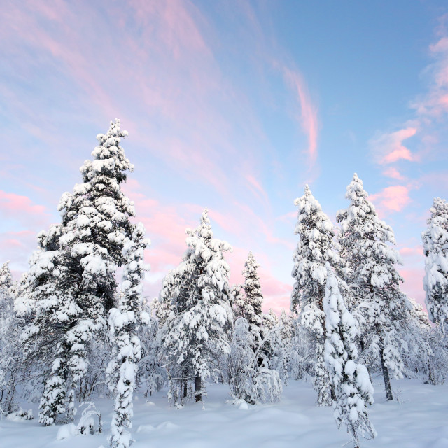 """Snowy trees in Lapland"" stock image"
