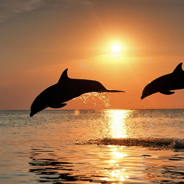 """""""Couple Dolphins in Sunset"""" stock image"""